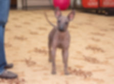 фотограф анималист челны,фотограф собак, экстерьер, собак, клж велес, питомник, гриффоны, щенки