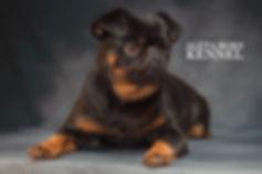 фотограф анималист челны, фотограф собак, экстерьер, собак, клж велес, хендлинг зал, хендлер, гриффон