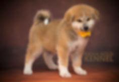 фотограф анималист челны,фотограф собак, экстерьер, собак, клж велес, питомник, акита ину, щенки