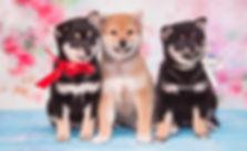 фотограф анималист челны,фотограф собак, экстерьер, собак, клж велес, питомник, сиба, щенки