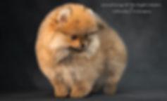 фотограф анималист челны,фотограф собак, экстерьер, собак, клж велес, питомник, шпиц, щенки