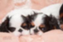 фотограф анималист челны,фотограф собак, экстерьер, собак, клж велес, питомник, щенки, спаниели