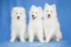 фотограф анималист челны, фотограф собак, экстерьер, собак, клж велес, хендлинг зал, хендлер