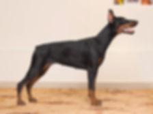 фотограф анималист челны,фотограф собак, экстерьер, собак, клж велес, питомник, доберман, щенки
