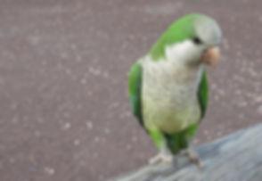 monk-parakeet-2281562_1920.jpg