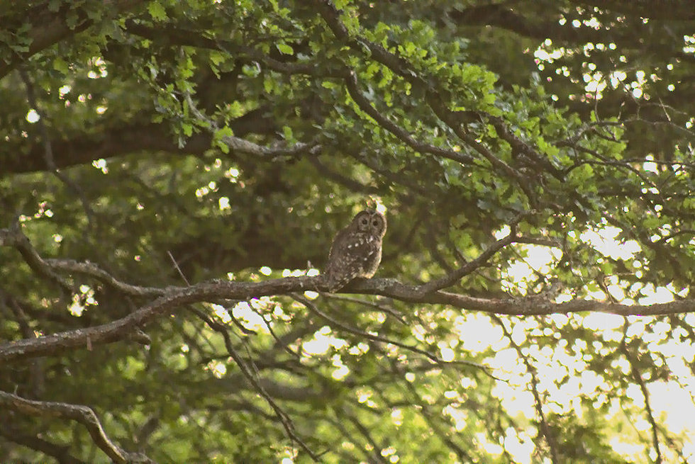 Tawny Owl Clinton Wood May 2020 edit 2.j