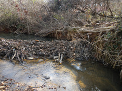 beaver dam at Monro Gardens