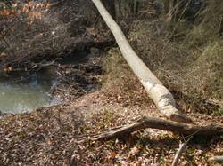 beaver dam - felled tree
