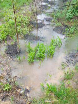 riverbirch inundated