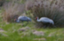 Brolga at Tyrendarra
