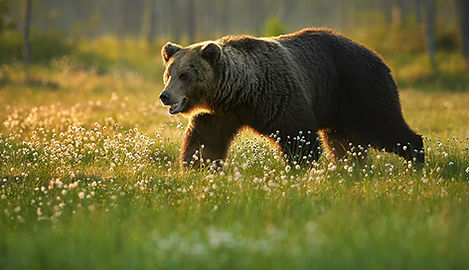 grizzly at yellowstone.jpg