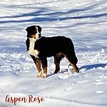 Aspen Rose.JPG