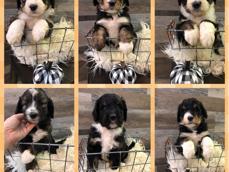 Bernedoodles available to go home in December