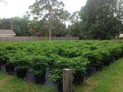 Datil Pepper Crops