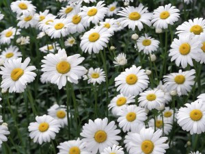 Chamomile, the Wonder Flower
