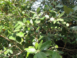 פרי הפיג׳ויה