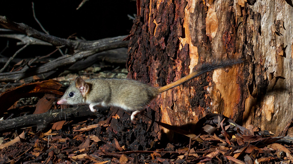 Red-tailed Phascogale.jpg