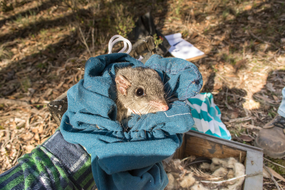Trapping phascogales in Bendigo