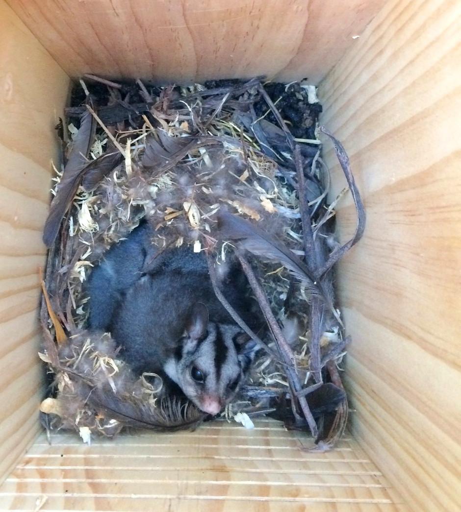 Identifying a Phascogale nest