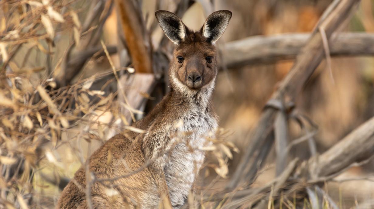 Western Grey Kangaroo.jpg