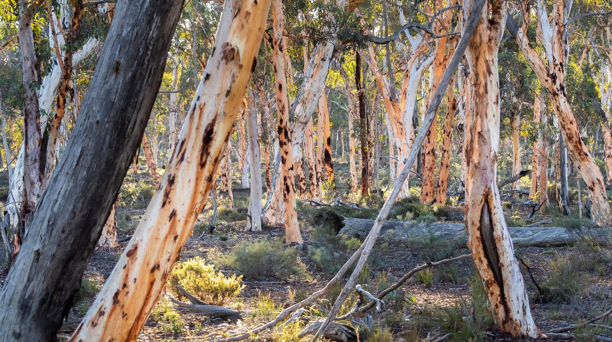 Dryandra woodland.jpg