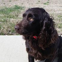 Brandy is a beautiful #littlebrowndog #g