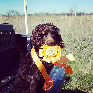 Boykin Spaniel Stud Dog with AKC Title Pass