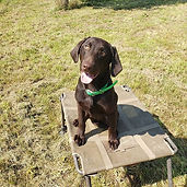 AKC REGISTERED Chocolate Lab Male named