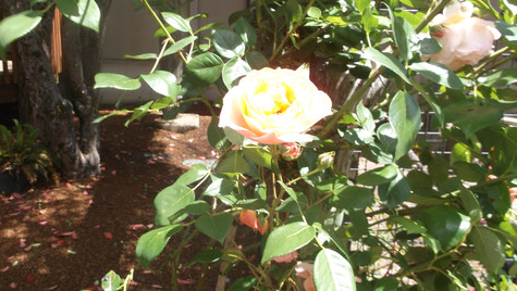 Yellow and Pink Rose.JPG