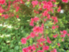 pretty pink rhodedendrons.JPG