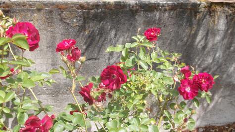 Pink Flower Bush.JPG