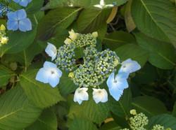 white blue hydrangea bloom