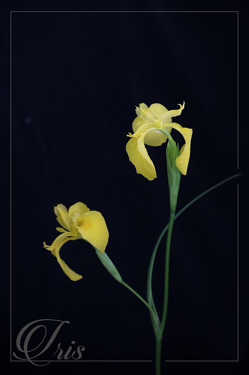 Wendy van Welie - Yellow Iris