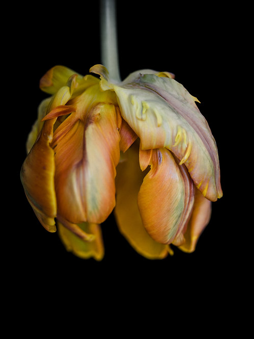 Wendy van Welie - Parrott Tulip