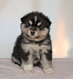 Black and white cute fluffy Finnish Lapphund puppy 5 weeks old sire Multi Ch Happy Lapp Dumbo dam Black Blossom Fia imported from Sweden