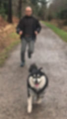 Finnish Lapphund doing canicross on a forest track with a big smile on his face and pulling a young handsome bald Asian man with black frame glasses