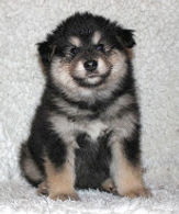 Black tan and white fluffy male Finnish Lapphund puppy