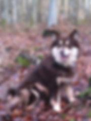 Brown tan and white Finnish Lapphund girl Keksi