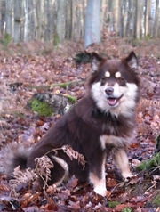 Brown tan and white Finnish Lapphund girl Keksi