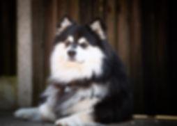Infindigo Taysikuu Arvo Finnish Lapphund.jpg