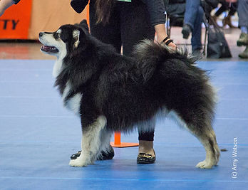 Black and white Finnish Lapphund junior dog Crufts results 2018 sire Denmark Netherlands Benelux Champion Happy Lapp Dumbo dam Black Blossom Troll Fia Sweden import