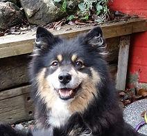 Black tri Finnish Lapphund, cafe dog