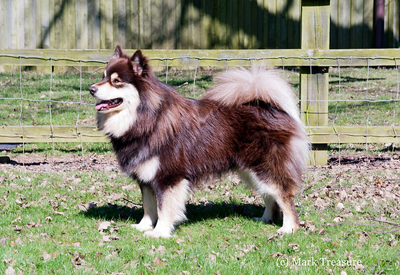 Brown tan & white male Finnish Lapphund available for stud