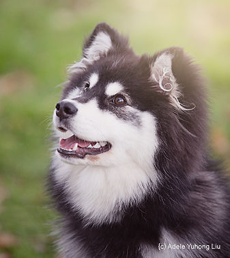 Beautiful young Finnish Lapphund puppy bitch, black and white domino grizzle, with bokeh grass background, professional pet photography