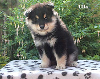 Black and tan Finnish Lapphund puppy bitch sitting on a box in the sun.  Sire Lecibsin Salo of TabanyaRuu, dam Infindigo Riemu Emmi