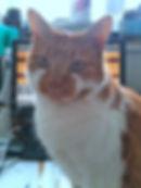Gingerand white tabby moggie cat moggy
