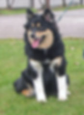 One year old Finnish Lapphund puppy, white legs, tongue out Tuesday, panting dog, spitz breed, fluffy puppy