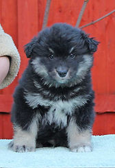 6 week old Finnish Lapphund puppy