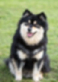 Beautiful Finnish Lapphund puppy