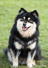 Beautiful Finnish Lapphund puppy